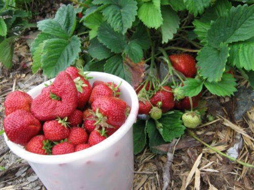 Пластиковое ведро с ягодами крупноплодной клубники Камрад Победитель