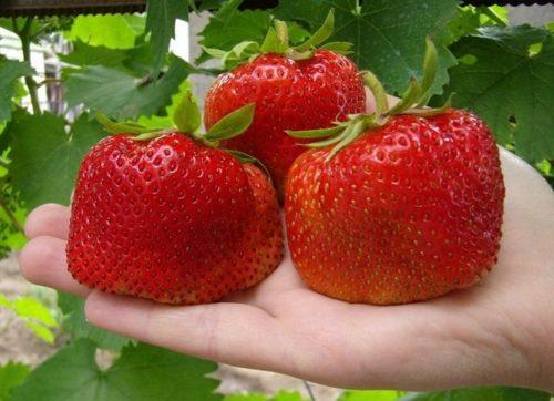 Три спелые ягоды клубники Камрад Победитель на ладони, крупноплодный сорт немецкой селекции