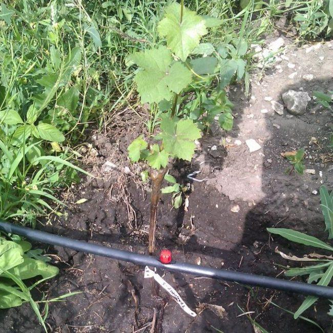 Саженец винограда и пластиковая труба капельной системы орошения