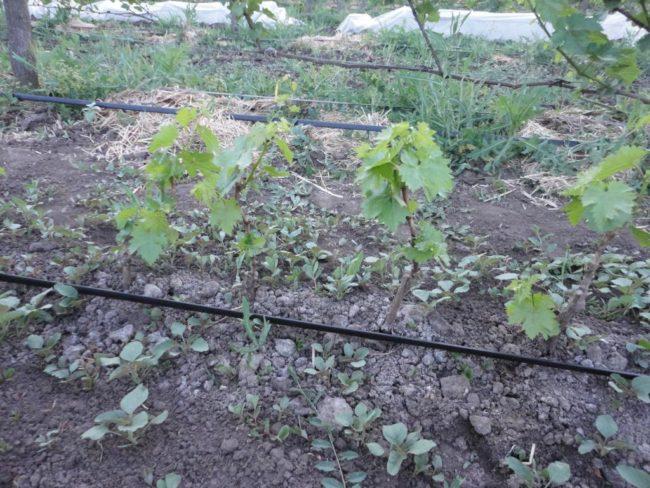 Виноградная лоза в начале сезона вегетации и труба капельного полива