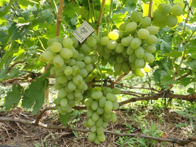 Виноградная лоза в конце лета и грозди спелых ягод гибридного сорта Кеша 2