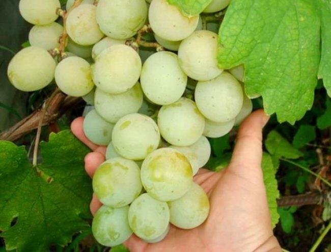 Спелая гроздь винограда сорта Кеша 2 на ладони, крупные плотные ягоды