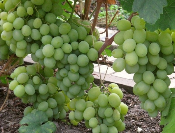 Куст винограда гибридного сорта Кеша 1 и наливные спелые грозди ягод янтарно-зеленого цвета