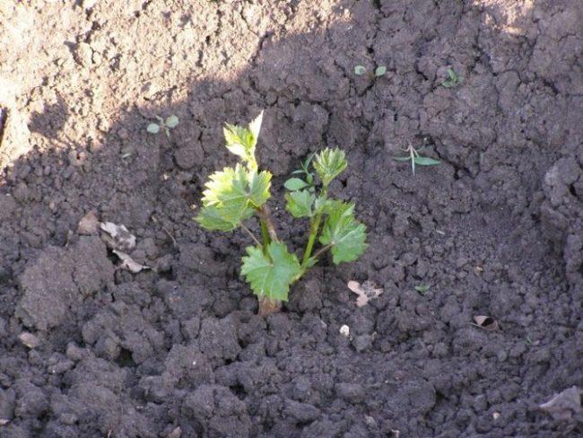 Молодой саженец винограда сорта Кеша после весенней посадки, видны новые ростки