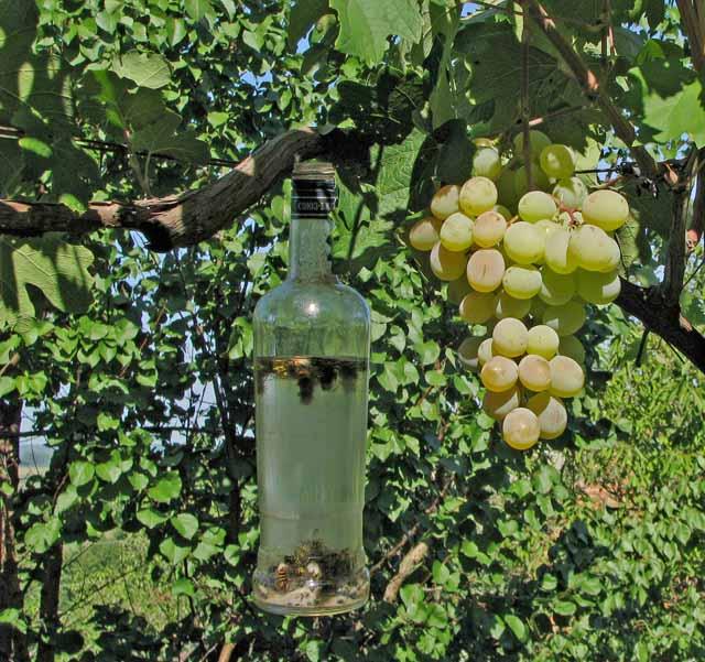 Гроздь винограда сорта Кеша на толстой ветке и бутылка с приманкой для ос