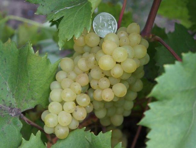 небольшие по размеру кисти гибридного винограда сорта Кишмиш 342 и монетка