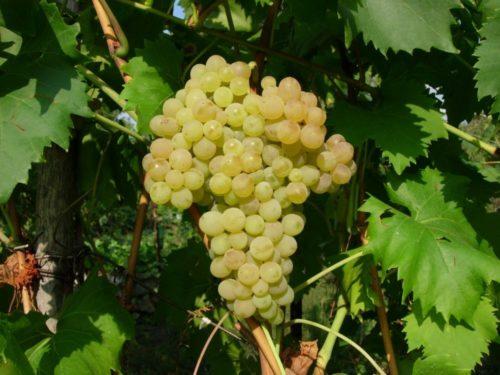 Крупная гроздь столового виногрда сорта Кишмиш 342 с яйцевидными ягодами желто-зеленого цвета