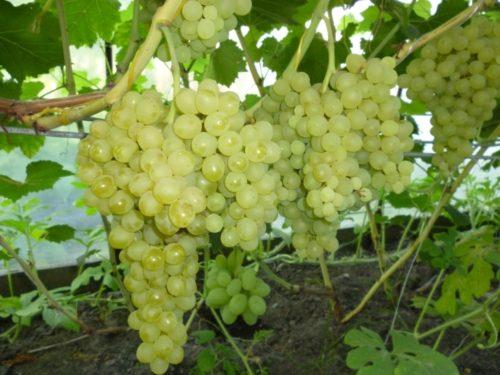 Кисти винограда Кишмиш 342 на кусту, выращиваемом в теплице