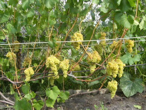 Виноградная лоза сорта Кишмиш Венгерский на шпалере и крупные грозди спелых плодов