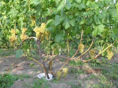 Куст винограда гибридного сорта Кишмиш 342 и грозди спелых ягод