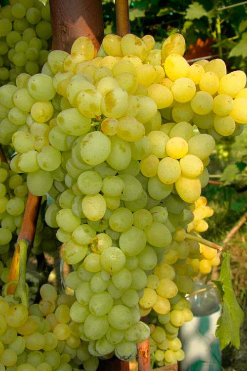 Кисть умеренной плотности спелого винограда гибридной формы Кишмиш 342 крупным планом
