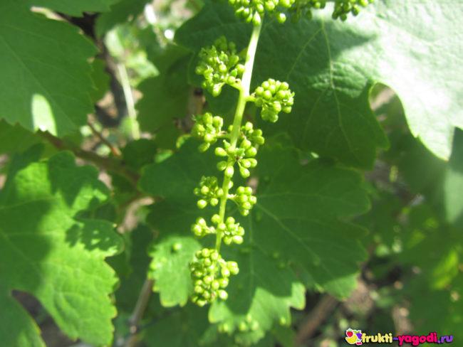 Завязи винограда Кишмиш на кусте