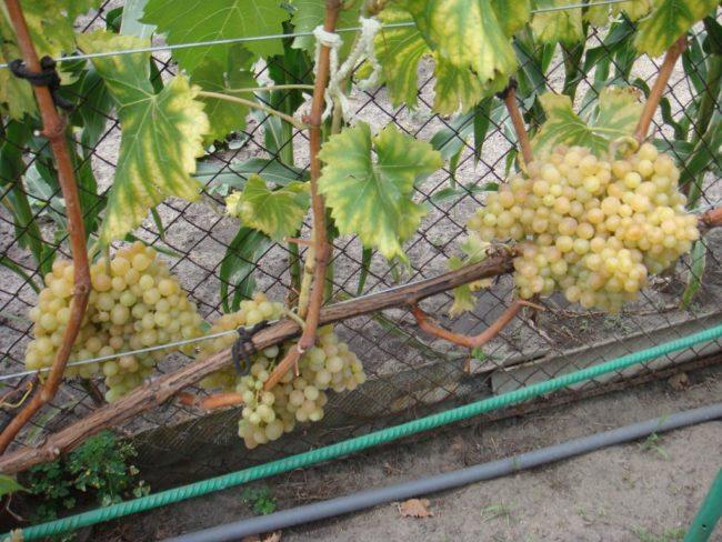 Многолетняя виноградная лоза гибридного сорта Кишмиш 342 венгерской селекции с гроздьями ягод