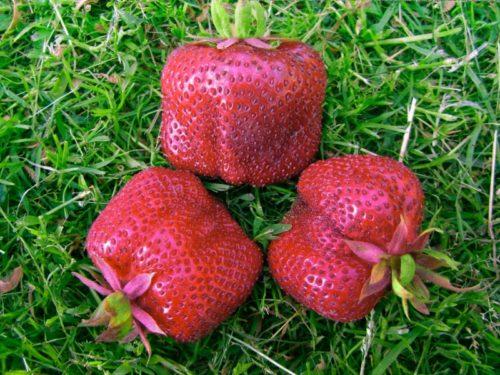 Три крупные ягоды клубники Кисс Неллис, высокоурожайный сорт средне-раннего срока созревания