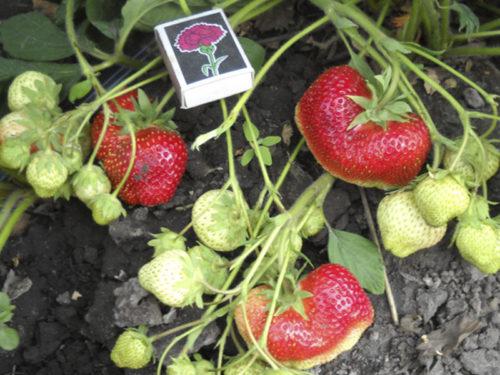 Размеры ягод клубники Кисс Неллис в начале плодоношения и на стадии созревания