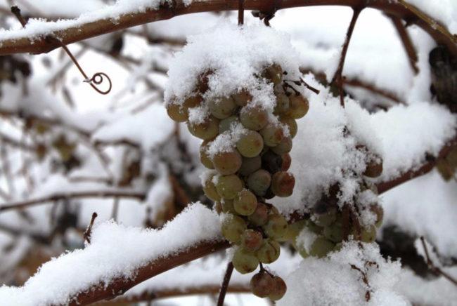 Пораженная антракнозом виноградная кисть и свежевыпавший снег на ветках