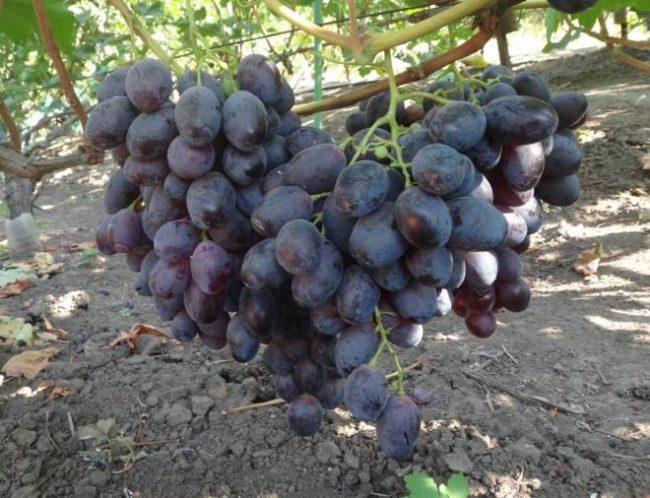 Две крупные кисти винограда гибридной формы Фурор отечественной селекции