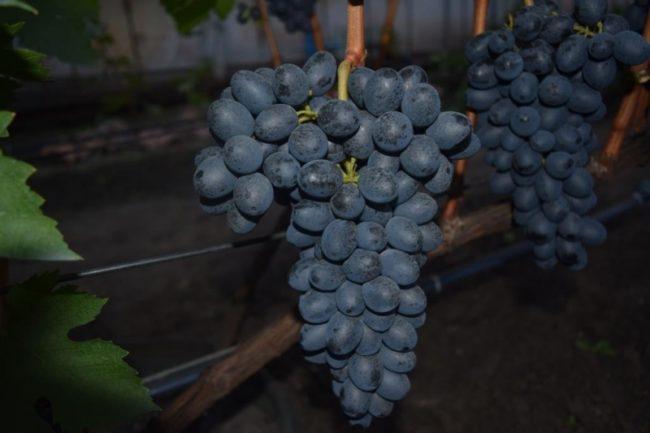Две крупные кисти столового винограда Аттика от греческих селекционеров