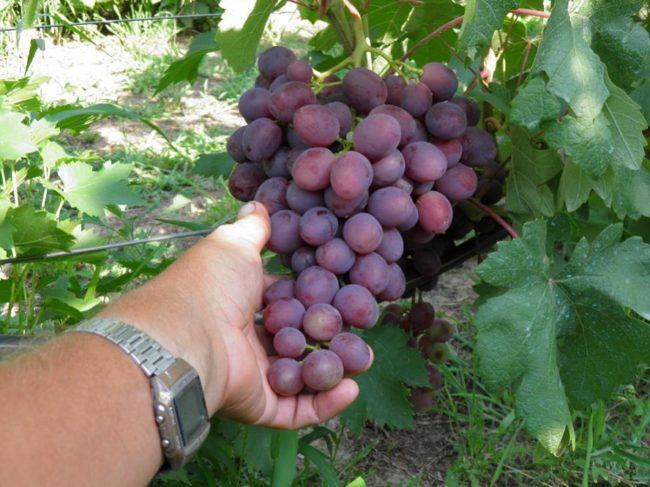 Объемная кисть спелого винограда и рука садовода с часами