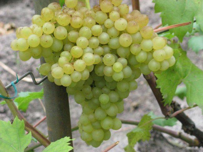 Крупная кисть созревшего винограда гибридной формы Кишмиш 342, также называемого венгерским Кишмишем