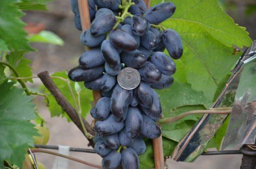 Ветвь черного винограда с крупными ягодами и монетой сорт Ромбик