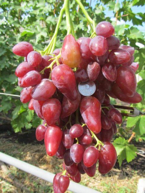 Крупная объемистая кисть винограда гибридного сорта Дубовский розовый и монетка