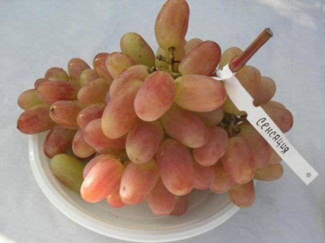 Гроздь гибридного винограда сорта Сенсация с биркой