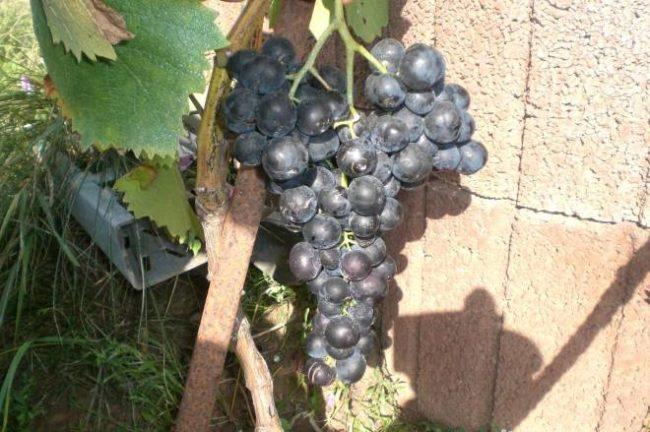 Кисть винограда с плодами темно-фиолетового оттенка на ветке и стена из шлакоблоков