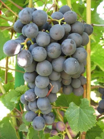 Гроздь винограда сорта Амурский с округлыми ягодами темно-синей расцветки