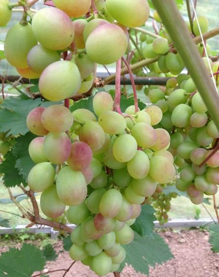 Гроздь винограда сорта Виктория в начальной стадии окрашивания ягод