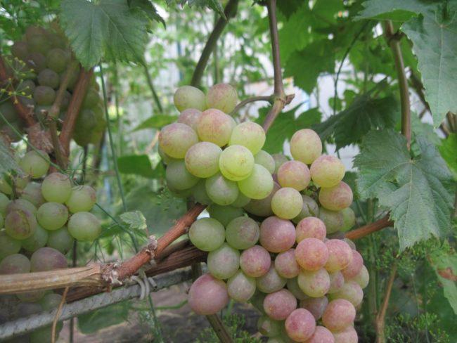 Стебли винограда на шпалере и ягоды различной стадии спелости