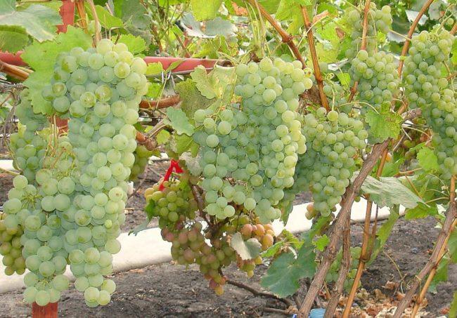 Виноградная лоза с длинными кистями и ягоды зеленовато-оливкового цвета с небольшим восковым налетом