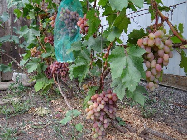 Куст винограда Юбилей Новочеркасска на проволочной шпалере и сетка на ягодах для защиты от ос