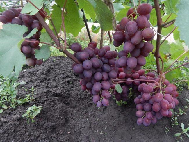 Четыре грозди винограда с плодами фиолетово-красного цвета