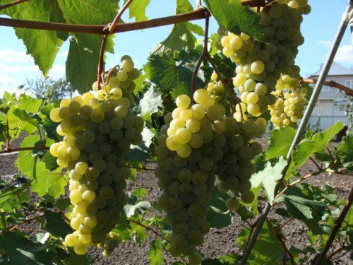 Ветка винограда и грозди созревающих плодов золотисто-желтого цвета
