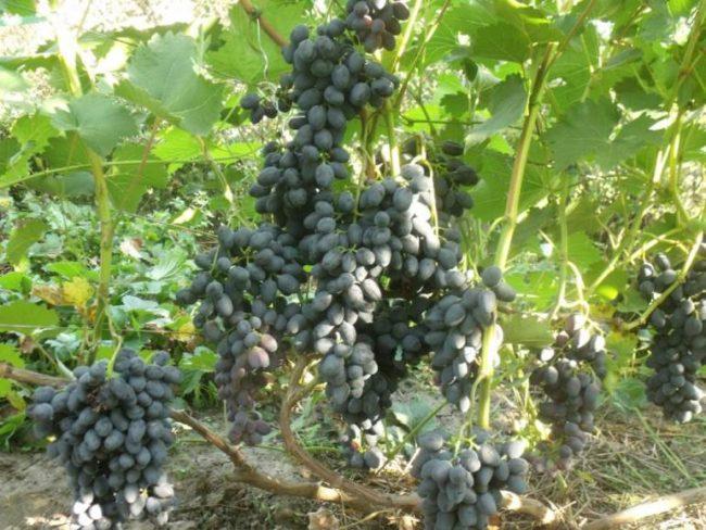 Куст винограда гибридного сорта Чарли и кисти среднего размера с ягодами вытянутой формы