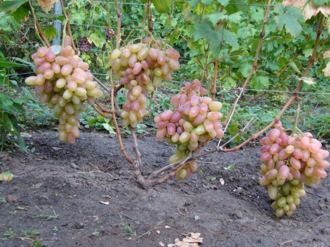 Четыре крупные грозди винограда сорта Преображение на ветках и шпалера из проволоки