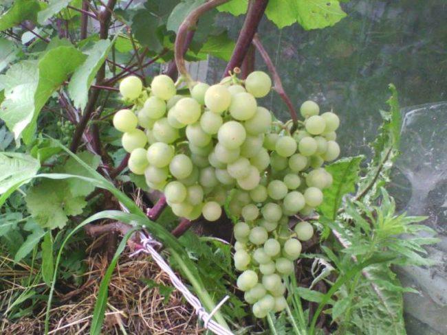 Крупные кисти винограда сорта Платовский с ягодами сферической формы