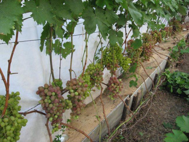 Виноградная лоза с крупными созревающими ягодами, растущая вдоль капитальной стены из пеноблоков