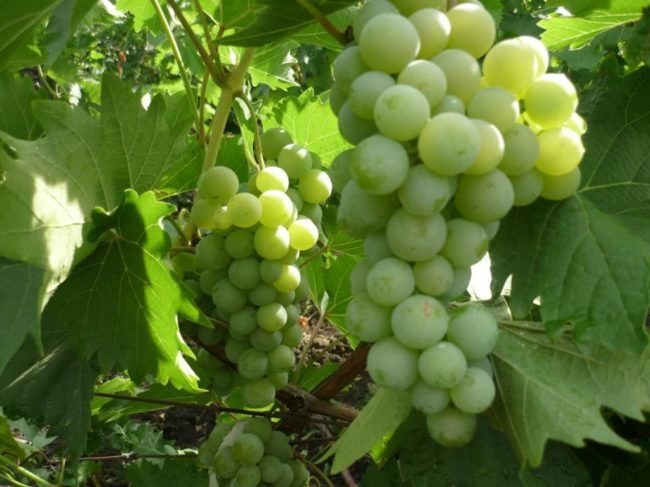Крупные кисти зелёного винограда висят в листве на кусте