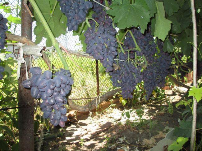 Кисти винограда сорта Атос на шпалере вдоль забора из сетки рабицы