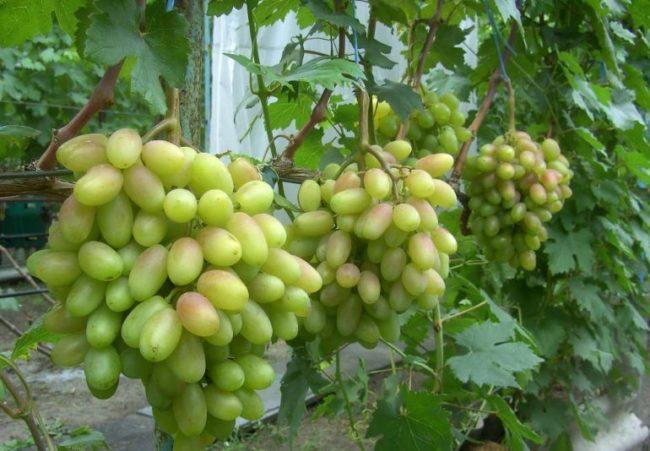 Виноградная лоза с крупными гроздьями зеленых ягод вытянутой формы