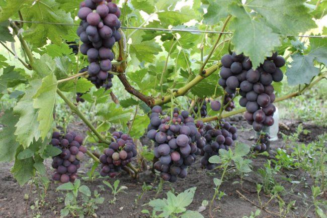 Ветки винограда на шпалере с гроздьями созревающих ягод сине-фиолетового цвета