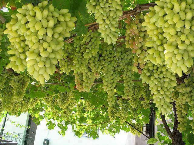 Грозди созревающего винограда Ландыш на перголе у садовода из Ставропольского края