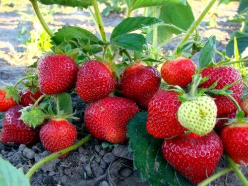 Рослый куст клубники Хоней и спелые ягоды насыщенно красного цвета