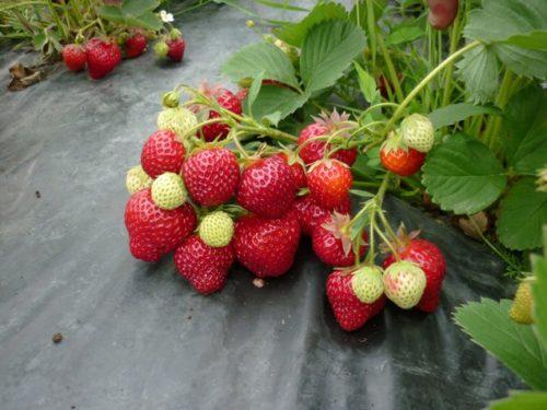 Средние по размеру ягоды клубники американского сорта Хоней на черном укрывном материале