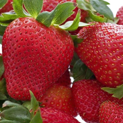 Крупные ягоды клубники Хоней вблизи, сорт американской селекции
