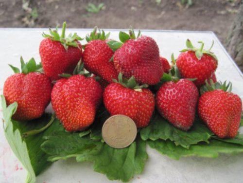 Крупные плоды клубники голландского сорта Примелла и монетка