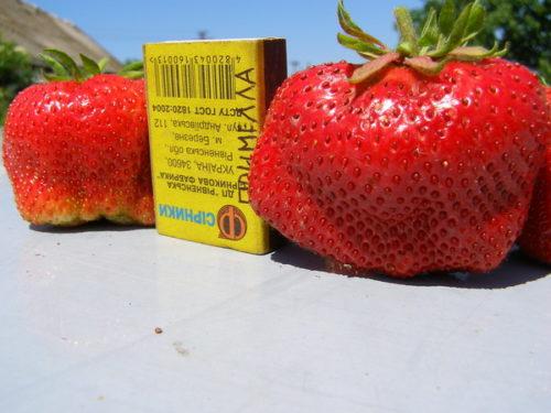 Размеры ягод клубники крупноплодного сорта Примелла и спичечный коробок