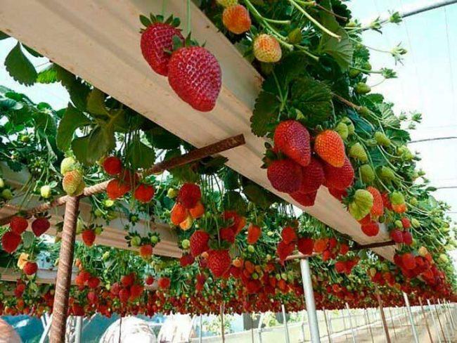 Кусты и ягоды ремонтантной клубники в длинных лотках, выращивание культуры в закрытом грунте